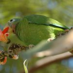 Yellow-Billed-Parrot