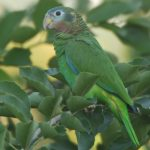 Yellow-Billed-Parrot 2