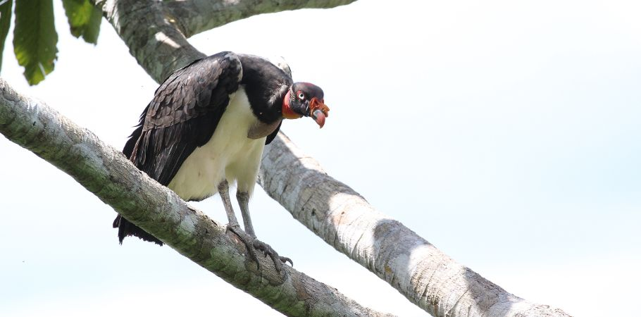 Manu Birding Lodge - King Vulture