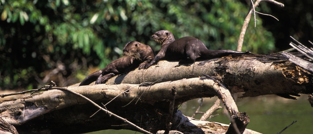 Giant River Otters in Peru