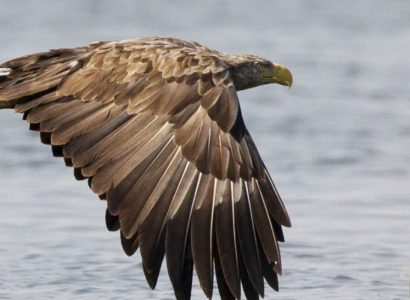 White-tailed-eagle