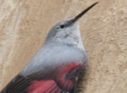 TopSpecies-Wallcreeper