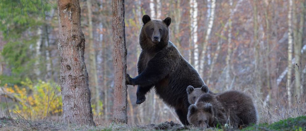 bear photography tour in romania