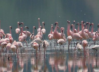 Uganda Birding and Nature Tour - Lesser-Flamingo