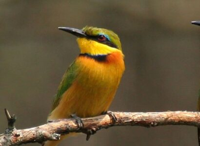 Uganda Birds and Mammals Tour - Little-Bee-Eater