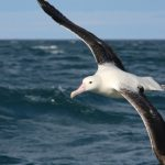 Albatross Encounter – Southern Royal – Blue Sky Wildlife