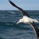 Albatross Encounter – Wildlife – Southern Royal – Blue Sky Wildlife