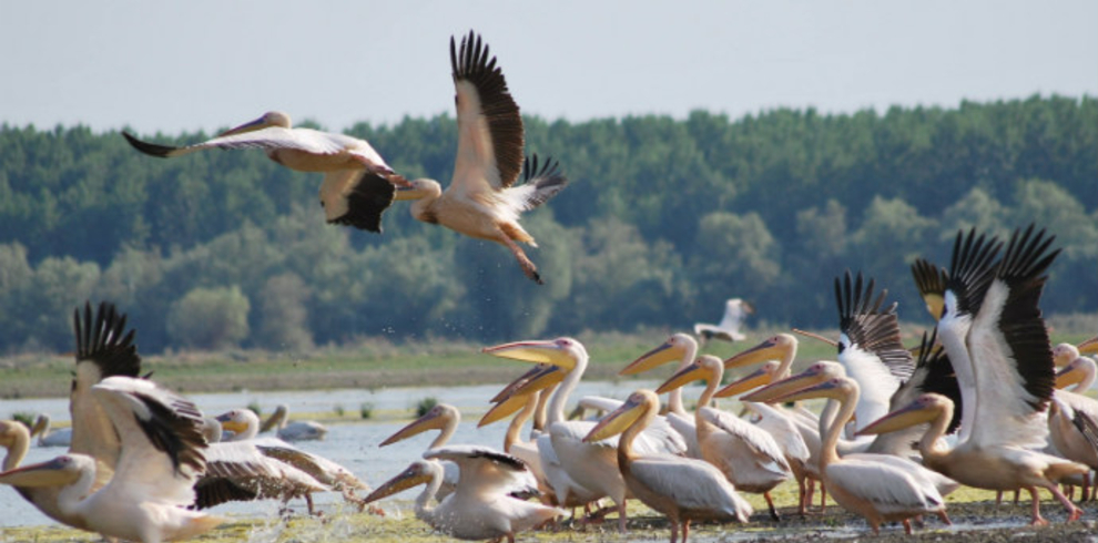 Great-white Pelican