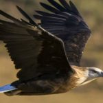 Bayanmunkh Dashnyam – Mongolica Travel- Mongolia Raptors Tour-Blue Sky Wildlife