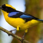 Bellavista Cloud Forest – blue-winged mountain tanager – Blue Sky Wildlife