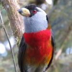 Bellavista Cloud Forest – toucan barbet – Blue Sky Wildlife