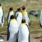 BirdsChile – King Penguins – Blue Sky Wildlife