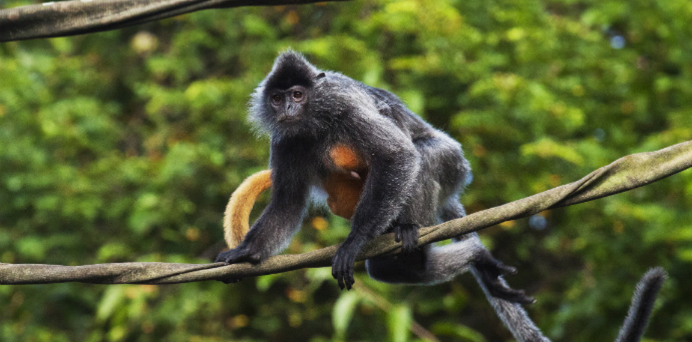 Borneo Eco Tours – Silver Leaf Langur – Blue Sky Wildlife