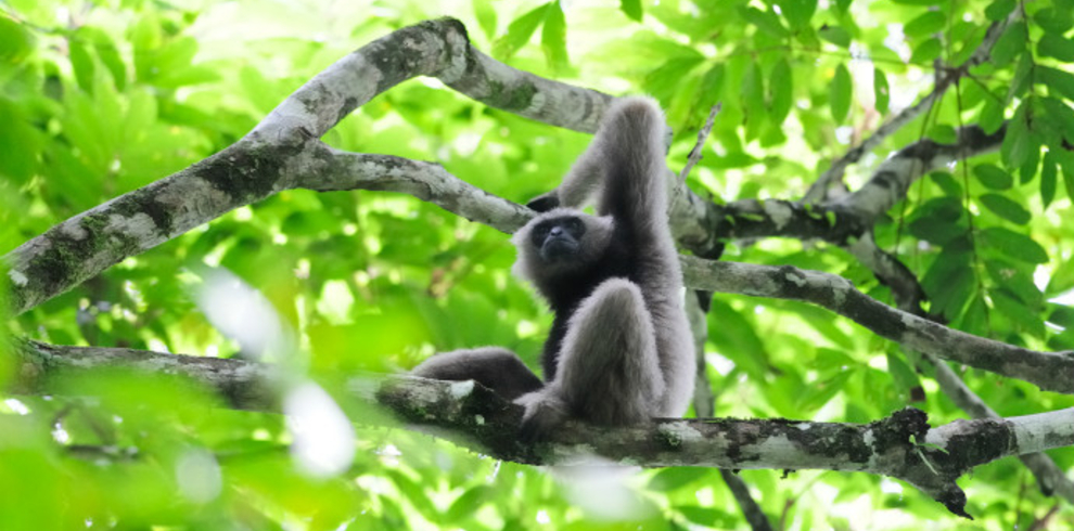 Borneo Nature Tours – Christina Lam – Bornean Gibbon – Blue Sky Wildlife