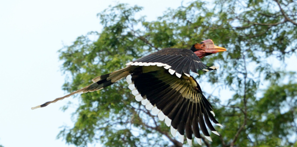 Borneo Nature Tours – Tours – Wildlife – Helmeted Hornbill – Blue Sky Wildlife