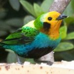 Multicolored-Tanager