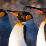 Claudio F Vidal – Far South Expeditions – Landing Page – King Penguin – Blue Sky Wildlife