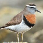 Claudio F Vidal – Far South Expeditions – Landing Page – Rufous-chested Dotterel – Blue Sky Wildlife