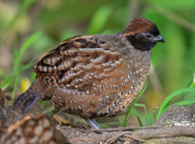 Colombia Birdwatch – Endemic Colombia – black-fronted-wood-quail- Blue Sky Wildlife