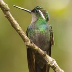 Costa Rica Birding – Landing Page – Purple-throated Mountain-gem