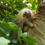 Costa Rica Birding – Landing Page -Two Toed Sloth