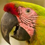 Costa Rica Birding – conservation – Great Green Macaw – Blusky Wildlife