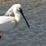 Doñana Spoon Trips – Tour A – Wildlife – Eurasian Spoonbill – Blue Sky Wildlife