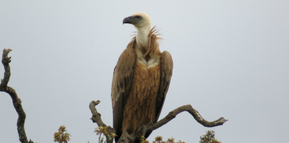 Doñana Spoon Trips – Tour D – Wildlife – Griffon Vulture – Blue Sky Wildlife