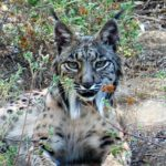 Doñana Spoon Trips – Tours 5 – Wildlife – Iberian Lynx – Blue Sky Wildlife