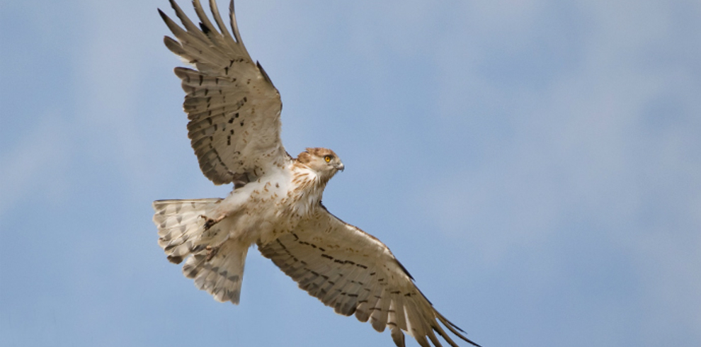Doñana Spoon Trips – Wildlife – Short-toed Eagle – Blue Sky Wildlife
