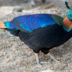 Enchanted-India-Monal-Blue-Sky-Wildlife