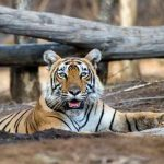 Enchanted-India-Royal-Bengal-Tiger-Blue-Sky-Wildlife