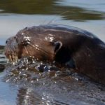 Explorer's Inn Tambopata – Giant Otters in Tombopata Tour – Blue Sky Wildlife