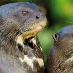 Giant Otters & Macaws Tour
