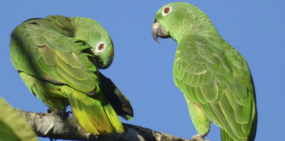 Macaws in Tombopata Tour