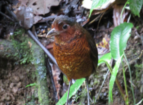 Favio Fernandez – Bellavista Cloud Forest -Tour 3 – giant antpitta