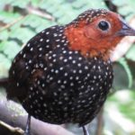 Favio Fernandez – Bellavista Cloud Forest -Tour 4 – ocellated tapaculo