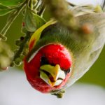 Favio Fernandez – Bellavista Cloud Forest -Tour 5 – red-headed barbet – profile
