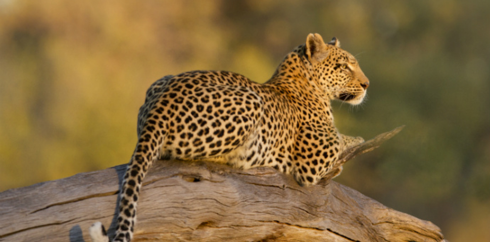 Grant Reed – Leopard Letaka Safaris Northern Highlights Blue Sky Wildlife