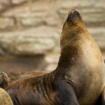 Green Tours – South American Sea Lion 1 North peru endemicas paradise tour – Blue Sky Wildlife