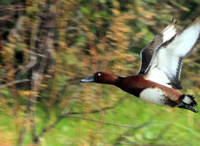 Ferruginous-Duck