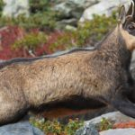 Jonathan Guillot – Chamois – RED DEER RUT IBEX & CHAMOIS Tour – Salva Fauna 2 – Blue Sky Wildlife