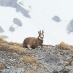 Jonathan Guillot – Chamois – WILD WONDERS OF VALAIS Tour – Salva Fauna 2 – Blue Sky Wildlife