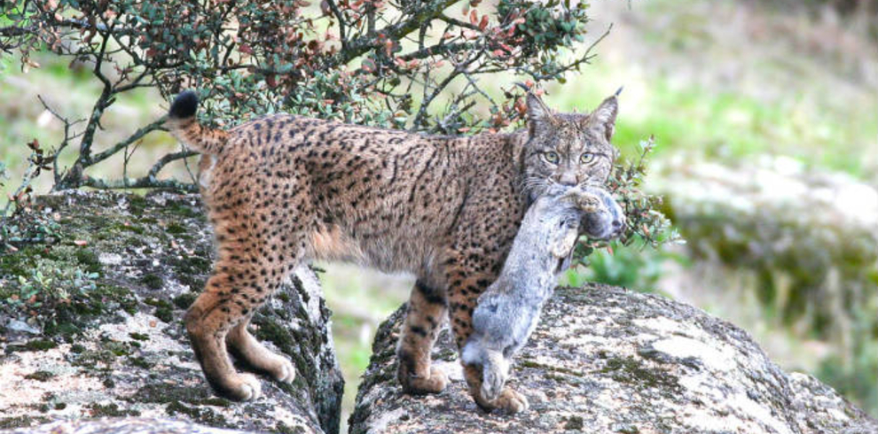 Wilderness and Nature Tours - Iberian Lynx Land