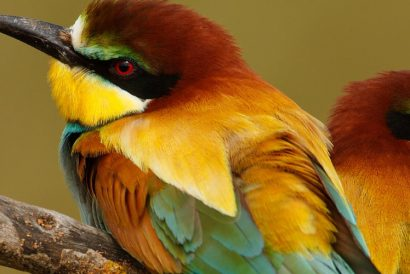 bird watching in spain - bee-eaters