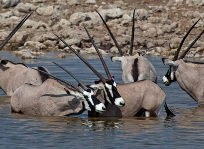 Essential Namibia Wildlife
