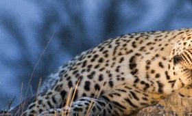 Focus-on-Predators-Kruger-and-Sabi-Sands