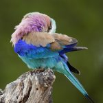 Lawson's Birding, Wildlife and Custom Safaris – Lilac-breasted Roller-2 – Blue Sky Wildlife