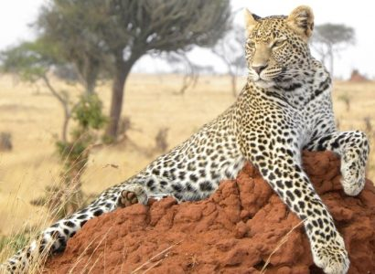 Leopard-on-termite-mound