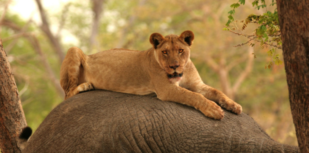Letaka Safaris – Lioness on elephant Chobe – Blue Sky Wildlife